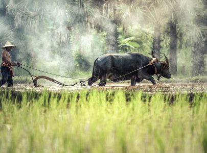 Kambodscha_Reisfelder