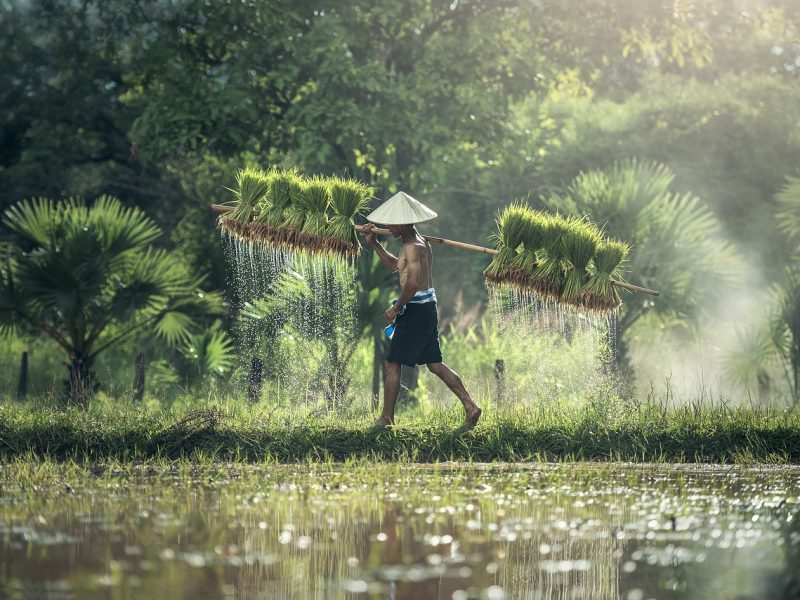 Kambodscha_Reisernte